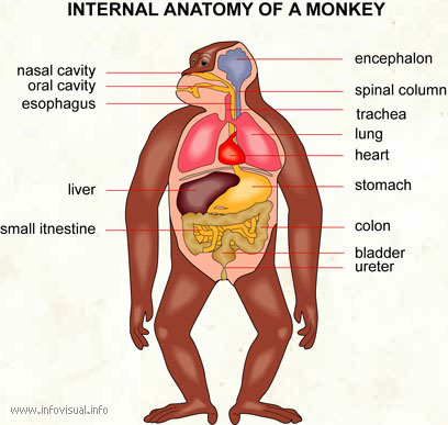 Internal anatomy of a monkey